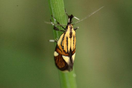 am Waldrand bei Keltern-Dietenhausen - Prächtige Faulholzmotte - Alabonia geoffrella; Spannweite ca. 20 mm; sehr selten (G. Franke, 30.04.2020)