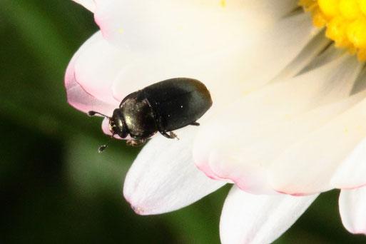 Glanzkäfer der Gattung Meligethes auf einer Gänseblümchenblüte; ca. 2 - 3 mm groß (G. Franke, 24.02.2021, Spielberg)