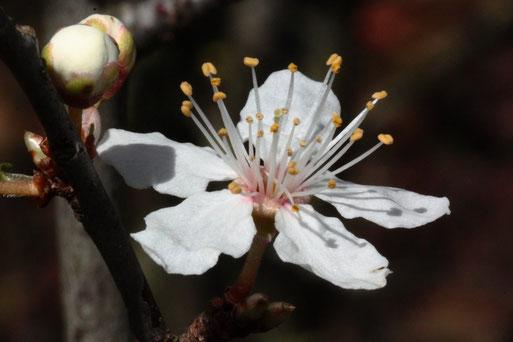 Prunus (unbest.) - die ersten Blüten öffnen sich - oberer Weinbergshang bei Keltern-Dietlingen (G. Franke, 21.02.2020)