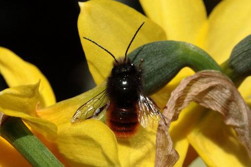 Gehörnte Mauerbiene auf dem Balkon (G. Franke, 24.03.18)