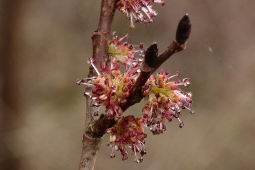 Blüten der Feld-Ulme - Ulmus minor, am Rhein bei Neuburgweier (Gerold Franke, 16.02.2020)