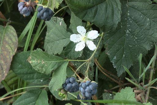 Kratzbeere - fruchtend und mit Einzelblüten - Waldrand bei Keltern (G. Franke, 29.08.18)