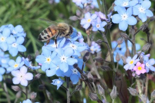 Beim Anlegen von Blühstreifen mit einheimischen Pflanzen finden sich viele Insekten ein, wie diese Honigbiene auf Vergissmeinnicht-Blüten (G. Franke)