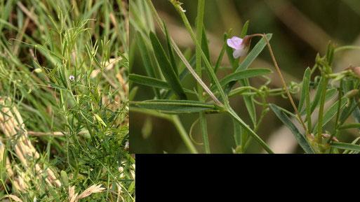 Viersamige Wicke - Vicia tetrasperma; Blüten ca. 5 - 6 mm lang; Feldrand bei Auerbach (G. Franke, 09.08.2021)