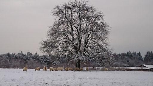 Schafe bei Spielberg - Winterspaziergang (G. Franke, 10.01.19)