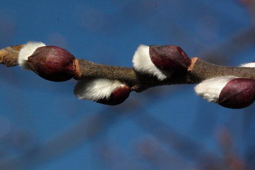 Mitte Januar und die ersten Knospen der Weiden brechen auf (G. Franke, 16.01.2020)