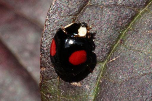 ein Asiatischer Marienkäfer - Harmonia axyrides, im Garten auf Blättern herumlaufend, man entdeckt diese Art in vielen Farbvarianten, bestätigt durch kerbtier.de #161805(G. Franke, 23.10.2019)