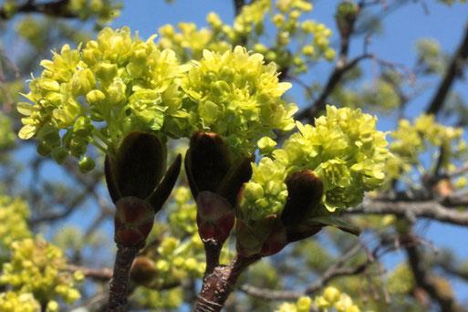 Blütenstände des Spitz-Ahorns - Acer platanoides, Streuobstwiesenrand am Wald bei Karlsbad-Spielberg (G. Franke, 06.04.2020)