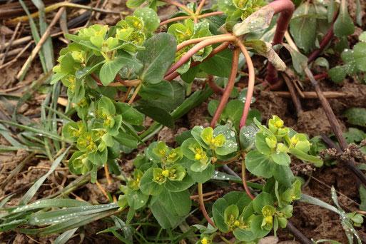 Sonnenwend-Wolfsmilch - Euphorbia helioscopia; Ackerrand zwischen Karlsbad-Langensteinbach und Auerbach (G. Franke, 20.01.2021)