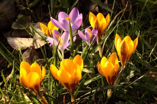 Krokusse im Garten (G. Franke, 23.02.2021)