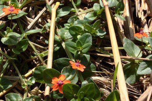 Am Rande von abgeernteten Getreidefeldern zeigt sich der Acker-Gauchheil (Anagallis arvensis) noch in voller Blütenpracht (G. Franke, bei Auerbach, 25.08.2021)