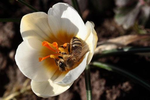 Honigbiene in einer Krokusblüte - Garten bei Karlsbad-Spielberg (G. Franke, 06.02.2020)