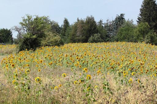 blühende Sonnenblumen zwischen Karlsbad-Langensteinbach und Auerbach am Waldrand (G. Franke, 10.08.2020)