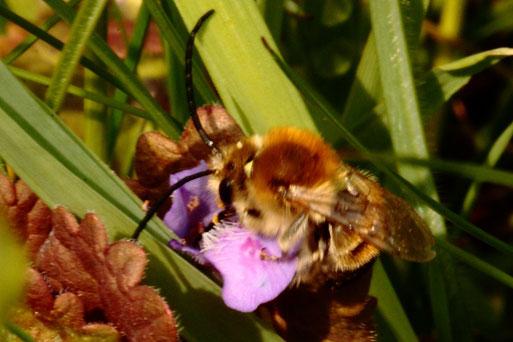 Mai-Langhornbiene - Eucera nigrescens; emsig in Kniehöhe umherfliegende Wildbienen, mit Vorliebe für die Blüten der Zaunwicke, aber auch auf Roter Taubnessel oder Gundermann zu finden - Ackerrand an einem Grünweg bei Langensteinbach (G. Franke, 10.05.21)