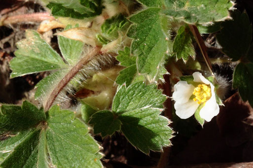 Das erste blühende Erdbeer-Fingerkraut - Potentilla sterilis; an einer sonnigen und geschützten Waldwegböschung bei Auerbach (G. Franke, 25.02.2021)