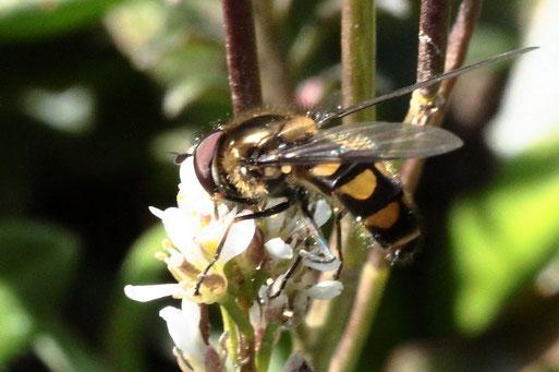 Frühe Frühlingsschwebfliege - Melangyna lasiophthalma; seltene Schwebfliege auf Blüten des Behaarten Schaumkrautes bei Spielberg (G. Franke, 28.03.2021)