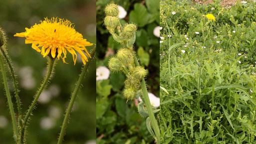 Acker-Gänsedistel - Sonchus arvensis; Ackerrand bei Langensteinbach - Blüte/Knospen/Pflanze (G. Franke, 04.08.2021)