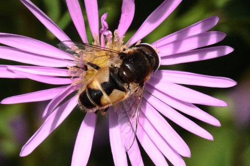 Eristalis arbustorum - Kleine Keilfleckschwebfliege; ca. 8 - 10 mm lang, männlich; Blütenbesuch auf Herbstastern bei Spielberg (G. Franke, 28.09.2021)