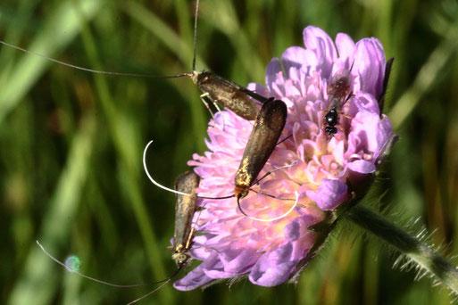 Skabiosen-Langhornmotten - Nemophora metallica; auf einer Blüte der Acker-Witwenblume, Wiese beim Hermannsee (G. Franke, 19.05.2020)