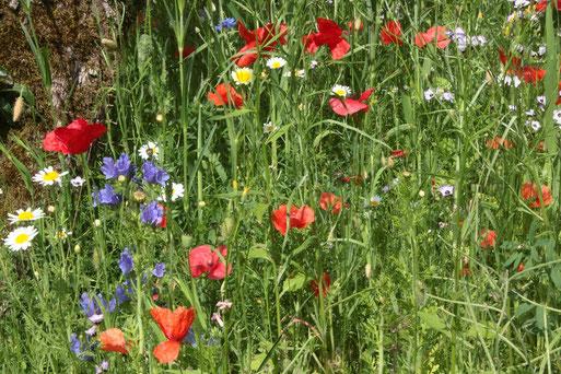 Wildblumenwiese im naturnahen Garten (G. Franke)