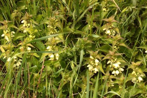 Weiße Taubnessel - Lamium album; Ackerrand bei Auerbach; gedeiht besonders gut auf stickstoffreichen Böden, ist ein Frischezeiger und profitiert von Düngung und Verschmutzung mit organischen Materialien (G. Franke, 04.05.2021)