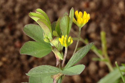 Kleiner Klee - Trifolium dubium; Streuobstwiese bei Karlsbad-Spielberg (G. Franke, 02.05.2021)