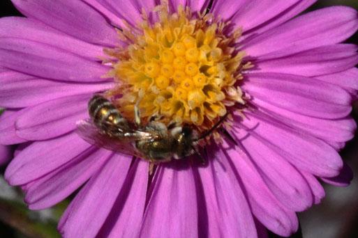 Goldglänzende Furchenbiene - Halictus subauratus; ca. 6 - 7 mm lang,  auf einer Asternblüte bei Karlsbad-Spielberg (G. Franke, 30.09.2020)