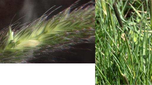 Wiesen-Fuchsschwanz - Alopecurus prantensis; Feldrain bei Auerbach; Blüten und Pflanze (G. Franke, 15.04.2021)
