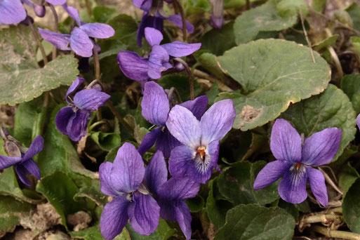 März-Veilchen - Viola odorata (G. Franke, 03.03.2021, bei Spielberg)