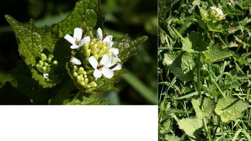 Knoblauchsrauke - Alliaria petiolata; aufblühend am Ackerrand neben Gebüsch zwischen Langensteinbach und Auerbach (G. Franke, 27.04.2021)
