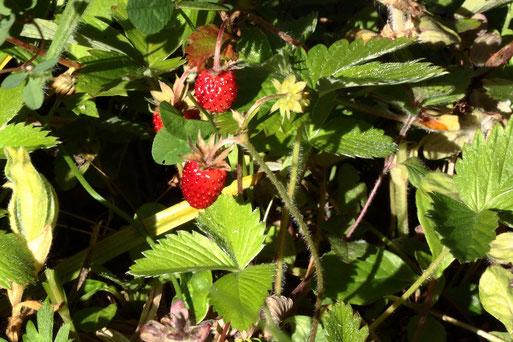 Wald-Erdbeere - Fragaria vesca; Waldwegrand am Maienberg bei Dobel (G. Franke, 21.06.2020)