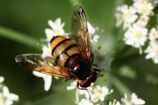 Gebänderte Waldschwebfliege (männlich) - Volucella inanis; Waldrand bei Dennach; ähnlich der Hornissen-Schwebfliege, aber etwas kleiner und 3 schwarze Bänder statt 2 (G. Franke, 19.08.2020)