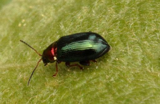Weiden-Erdfloh - Crepidodera aurata; auf einem Weidenblatt bei Spielberg; ca. 3 mm groß, nicht selten, wird aber häufig übersehen (G. Franke, 30.04.2020)