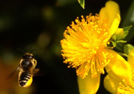 Wildbiene im Anflug auf eine Johanniskrautblüte (G. Franke, Spielberg, 27.07.2021)