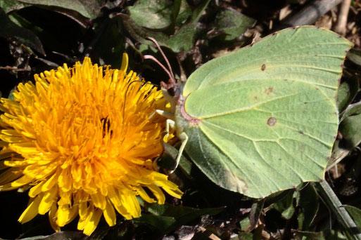 Zitronenfalter - Gonepteryx rhamni; am Ackerrand bei Auerbach, Nektar saugend auf einer Löwenzahnblüte (G. Franke, 30.03.2021)