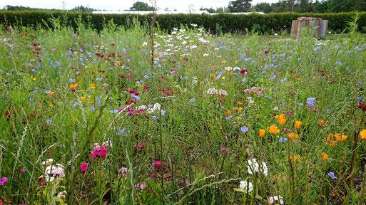 NABU-Blühfläche mit Elementen des naturnahen Gartens in der Pflanzen Oase Jansen, 76307 Karlsbad - ein weiterer Flächenausschnitt (G. Franke, 19.06.2020)