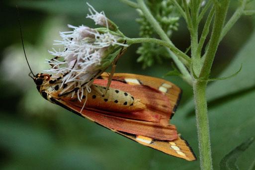 Russischer Bär - Euplagia quadripunctaria; zeigt mal seine andere Seite; auf den Blüten von Wasserdost; Waldwegrand bei Karlsbad-Spielberg (G. Franke, 06.08.2020)
