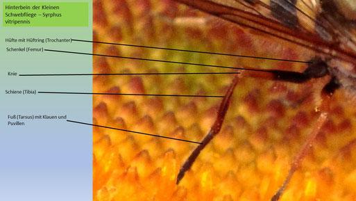 Gliederung eines Schwebfliegen-Beines am Bsp. des Hinterbeines der Kleinen Schwebfliege (Syrphus vitripennis) (Foto: G. Franke)