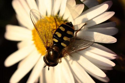 am gleichen Tag eine Gemeine Feldschwebfliege auf einem Gänseblümchen (G. Franke, 16.12.2019)