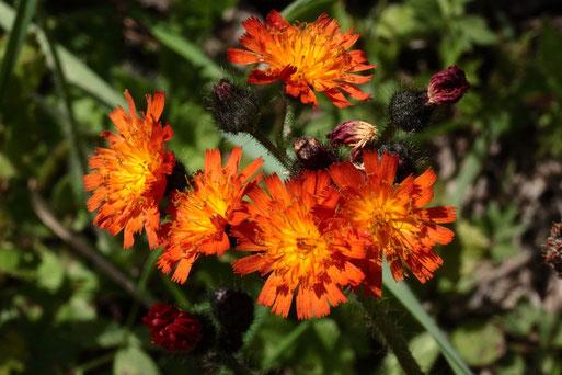 Orangerotes Habichtskraut - Hieracium aurantiacum; Waldwegrand am Heuberg bei Dennach (G. Franke, 23.06.2020)