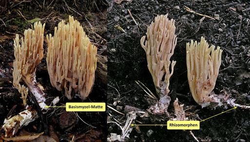 Bild 2 – Freigelegte Fruchtkörper. Sie zeigen weißen Myzelfilz und ebenfalls weiße Rhizomorphen (B. Miggel)