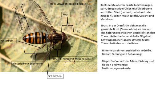 Schwebfliegen in Karlsbad, Waldbronn und Umgebung