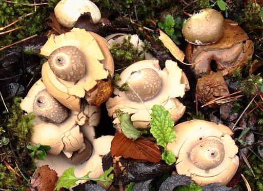 Halskrausen-Erdsterne am Waldwegrand - Maienbergkopf bei Dobel; der Pilz ist nicht sehr häufig zu sehen (G. Franke, 15.11.2020)