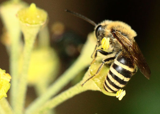 Efeu-Seidenbiene (Colletes hederae) auf den ersten Efeublüten des Jahres im Garten - Spielberg (G. Franke, 24.09.2019)