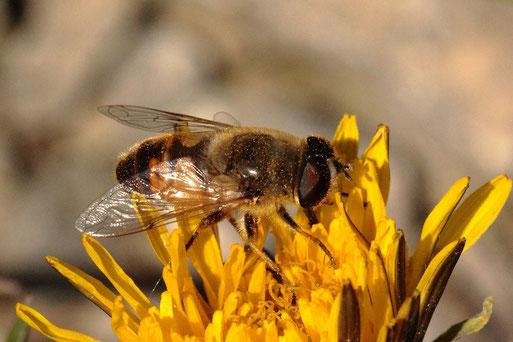 Mistbiene - Eristalis tenax, männlich; Ackerrand bei Auerbach, eine bei uns häufig zu findende Schwebfliegenart (G. Franke, 19.05.2021)