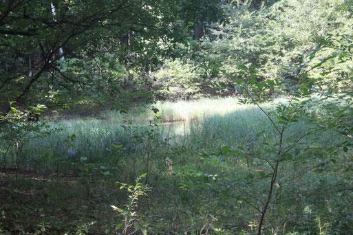 Standort der äußerst seltenen Grannen-Segge (Carex atherodes) südwestl. von Nauen - die Pflanze besiedelt kleine Waldteiche und Sümpfe