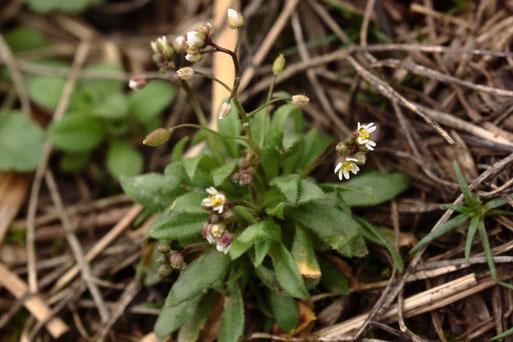 Frühlings-Hungerblümchen - Draba verna (Erophila verna); ca. 50 Pflanzen, ca. 15 - 20 mm hoch am Ackerrand bei Auerbach (G. Franke, 17.02.2021)