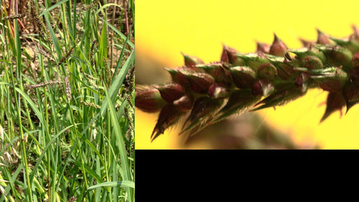 Gewöhnliche Hünerhirse - Echinochloa crus-galli; am Feldrand bei Langensteinbach, links ges. Pflanze, rechts Rispenast mit Ährchen (G. Franke, 20.07.2021) Zeigerpflanze für stickstoffreiche Lehmböden