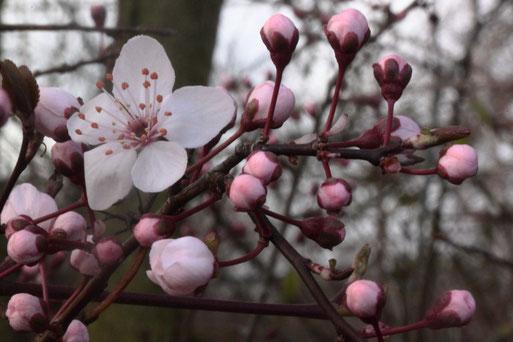 Frühling - Prunus indet. (G. Franke, 13.03.19 bei Keltern Dietenhausen)
