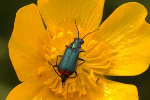 Zweifleckiger Zipfelkäfer - Malachius bipustulatus; Streuobstwiese bei Spielberg - in einer Hahnenfußblüte, ca. 5 - 6 mm (G. Franke, 23.05.2021)